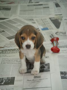 have a beagle...but i never saw it as a puppy