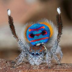 Peacock spider - pauwspin