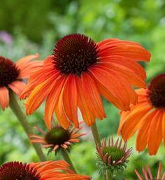 you should grow coneflowers: Easy to grow. Blooms all summer. Beautiful Flowers Garden, Beautiful Gardens, Flower Garden Design, How To Attract Hummingbirds, Flowers Perennials, Garden Projects, Garden Tips, Garden Ideas, Outdoor Landscaping