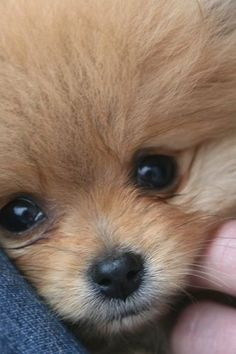 All About Playfull Pomeranian Puppies Size - Hundefotos - Dogs Cute Baby Animals, Animals And Pets, Funny Animals, Cute Puppies, Cute Dogs, Cute Pomeranian, Chocolate Pomeranian, Tier Fotos, Baby Dogs