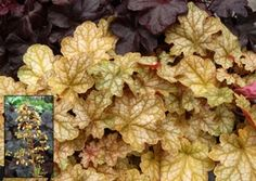 Heuchera (Ginger Ale) - added three of these to our front landscape today.
