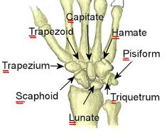Doctors Gates: How to remember Carpal bones !!
