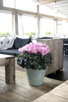 wat een prachtige bloemenbom, en ja, het is echt 1 plant!!!!!