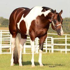 John Simon, 2006 Paint stallion (Special Invitation x Sensational Leaguer)