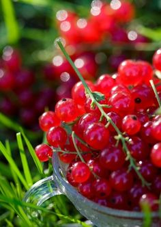 lingonberries.... / ripsbaer