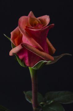 ✿⊱❥ CHILLIS - Eden Roses Ecuador