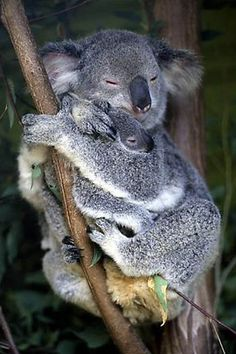Koala and cub. Australia,Part of gallery of color pictures of Oceania by professional photographer QT Luong, available as prints or for licensing. Cute Baby Animals, Animals And Pets, Mundo Animal, Animal Kingdom, Animals Beautiful, Pet Birds, Animal Pictures, Fur Babies, Kangaroos