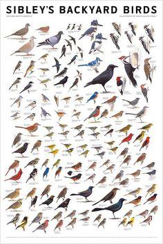 Sibley's Backyard Birds, Eastern North America, poster by David Allen Sibley Love Birds, Beautiful Birds, Birds Of America, North America, North Dakota, North Carolina, Bird Identification, Bird Poster, Birdwatching