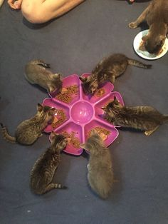 the easiest way to feed my foster kittens. Discovered the easiest way to feed my foster kittens.Discovered the easiest way to feed my foster kittens. Foster Cat, Foster Kittens, Cats And Kittens, Kitty Cats, Foster Animals, Animals And Pets, Cute Animals, Animals Images, Baby Animals