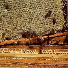 #сотовыймед #🐝 #🍯 #мед #мёд #витебск #belarus 🏢#vitebsk #беларусь #blr #орша #🌞 #miel 🌺 #bee #vtb #bees 🌳 #apic #honey 🐻 #beekeeping #swarm 🌍  #miod #by 🌼 #buzz #honeybee 👪 #віцебск #bielarus 🌷#beekeeper #biene 🌻 #vitsyebsk