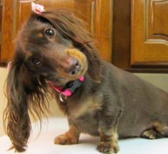 amazing!  a Miss Piggy pose by the petite dachshund.  such a talented breed.❤️