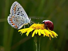 Butterfly and Lady bird. Beautiful Bugs, Beautiful Butterflies, Gossamer Wings, Butterfly Kisses, Butterfly Wings, All Gods Creatures, Wild Nature, Love Bugs, Science And Nature