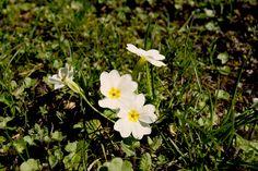 Die Kissenprimel wird auch stängellose Schlüsselblume genannt. Sie setzen von März bis April fröhliche gelbe, weisse, rote und blaue Tupfer in die Rasen und in die Gärten. Der immergrüne Zwerg wird…