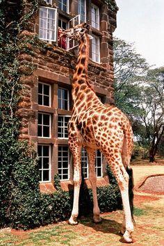 Giraffe visiting a guest in a hotel in Africa.