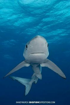 Blue shark, that's a pretty cute face for a shark