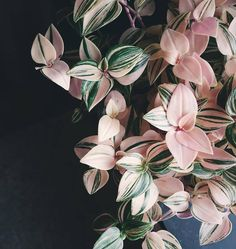 "4,329 gilla-markeringar, 50 kommentarer - ⠀⠀⠀⠀⠀⠀⠀⠀⠀ PLANTS IN F⭕CUS (@plantsinfocus) på Instagram: ""via: @littleandlush _______________________ #plantsinfocus _______________________…"" Tradescantia spathacea"