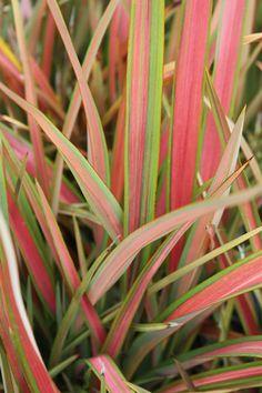 New Zealand Flax: Jester Pink = Tropical Landscaping, Outdoor Landscaping, Landscaping Plants, Tropical Gardens, Garden Mum, Sun Garden, Garden Plants, New Zealand Flax, Drought Tolerant Garden