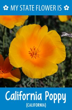 #California's state flower is the California Poppy. What's your state flower? http://pinterest.com/hometalk/hometalk-state-flowers/