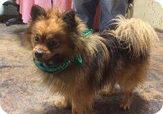 Pekingese/Pomeranian Mix Dog for adoption in Buffalo, New York - Amos