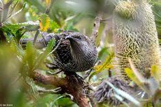 Australian Garden, Bird, Grey, Animals, Gray, Animales, Animaux, Birds, Animal