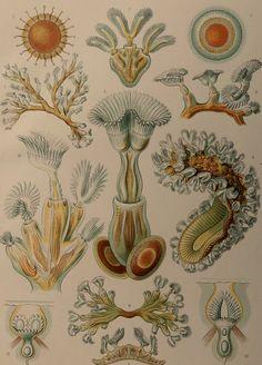 Haeckel.1924.Kunstformen der NaturObras de por CastafioreOldPrints