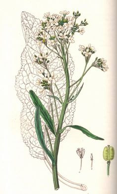 "Horseradish botanical drawing. From Ed Smith's personal library: Stephenson & Churchill, ""Medical Botany"": 1834-1836."