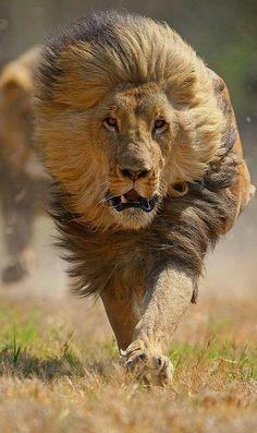 Running Lion...