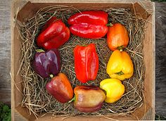 iko iko peppers | iko iko peppers these peppers from our own breeding program display an ...