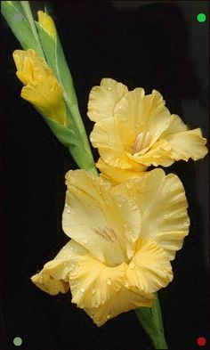 Garden Flowers Gladiolus - Plant Bulbs For Fresh Cut Gladiolus For My Home. Exotic Flowers, Fresh Flowers, Yellow Flowers, Colorful Flowers, Beautiful Flowers, Planting Bulbs, Planting Flowers, Tattoo Schwarz, Gladiolus Flower