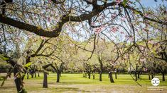 Digital Product Thumbnail - Rows of Blooming Almond Trees in Spring in Madrid at Quinta de Los Molinos Almonds Park Spring Pictures, Spring Photography, Flowering Trees, Travel Images, Almonds, The Row, Madrid, Spain, Sidewalk
