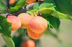 How to Grow Apricots - Open Permaculture - Permaculture Design Course Organic Gardening, Gardening Tips, Growing Rhubarb, Permaculture Design Course, Apricot Tree, Perennial Vegetables, Tree Care, Edible Food, Hobby Farms