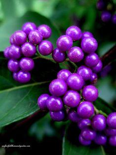 Fall Is In The Air ~ Fall - Blooming BeautyBerry Shrub , Callicarpa (Garden of Len & Barb Rosen)