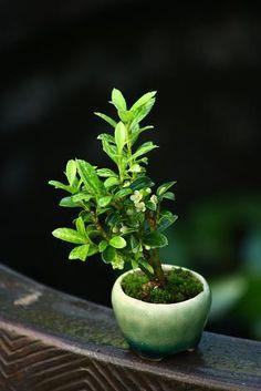 チョコレート盆々-超ミニ盆栽
