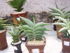 Sansevieria rorida by GREGORIUZ, via Flickr