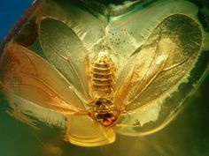 Baltic amber inclusions - 50 million years old - Hemiptera, Sternorrhyncha, Aleyrodoidea, Psylloidea, Aleyrodidae?. Length 2 mm.JPG