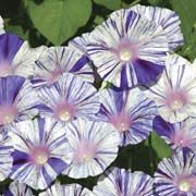 Ipomoea purpurea Vivid white is overlaid with indigo streaks and stripes. This astounding morning glory variety