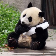 A panda keeps cool with a block of ice in Chengdu, Sichuan Province, China. I LOVE pandas!