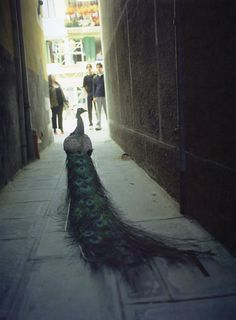 "Francis Alÿs, The Ambassador, 2001    ""Alÿs sent a peacock to the opening of the Venice Biennale. People were there to see the peacock but the peacock also functioned as a critique of all the preening people who were attending the opening."""