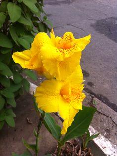 Íris amarelo na Rua Sapucaia