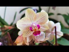 ORKİDE NASIL ÇOĞALTILIR / ORKİDE ÜRETİMİ -ORKİDE BAKIMI#orkide #orkidenasılçoğaltılır #orkideüretimi - YouTube Rose, Flowers, Plants, Masks, Pink, Roses, Florals, Plant, Flower