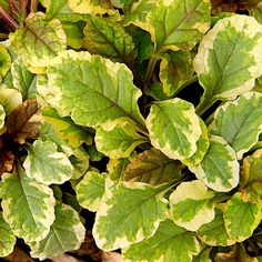 Ajuga 'Golden Glow'