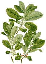 Yerba Mate This is also a great site for LOTS of herbs. With info, benefits, uses & pictures