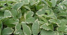 Aegopodium podagraria 'Variegatum' op vasteplant.be