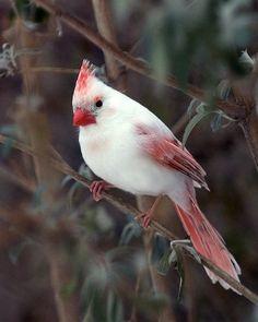 Rare and Beautiful Female Albino Cardinal. albino animal Animal Life on Pretty Birds, Beautiful Birds, Animals Beautiful, Cute Animals, Amazing Animals, Beautiful Pictures, Stunningly Beautiful, Wild Animals, Baby Animals
