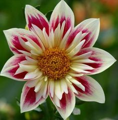 Dahlia 'Fashion Monger' Would make a pretty in your garden, Millie. Exotic Flowers, Amazing Flowers, Beautiful Flowers, Tropical Flowers, Purple Flowers, Dahlia Flower, Cactus Flower, Sugar Flowers, Lilies Flowers