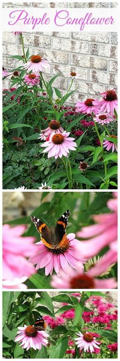 How To Grow Purple Coneflower.  They are a beautiful addition to the sunny perennial garden and it appears that Monarch butterflies love them too.