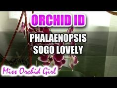 Phalaenopsis Sogo Lovely Orchid - YouTube
