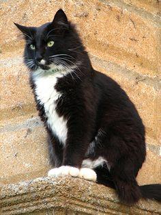 This is the tuxedo cat