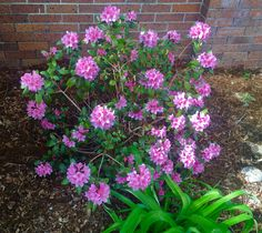 Rhododendron is the late Spring 2019 featured plant Longmont Colorado, Boulder Colorado, Front Range, Spring Plants, Tree Canopy, Peat Moss, Type Setting, Bouldering, Landscape Design