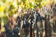 Eleven Eleven Wines ~ Almost ready! Napa Harvest ~ Napa Wine Tasting